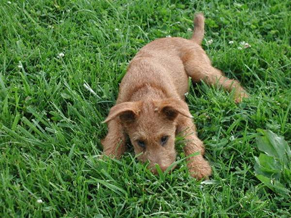 As a puppy playing hide and seek in the grass.
