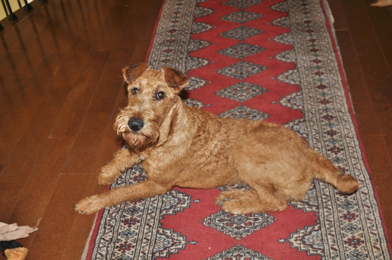 irish terrier club of america madison 7633